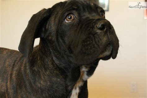 corso puppies price meet quot quot a corso mastiff puppy for sale for 600 price reduced