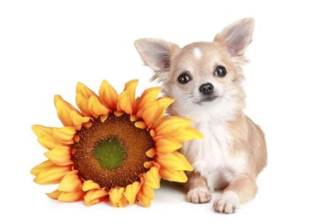 can dogs eat sunflower seeds can dogs eat sunflower seeds 5 benefits and 3 side effects