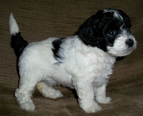 lhasapoo puppies lhasapoo puppies for sale poodle lhasa apso coalville leicestershire