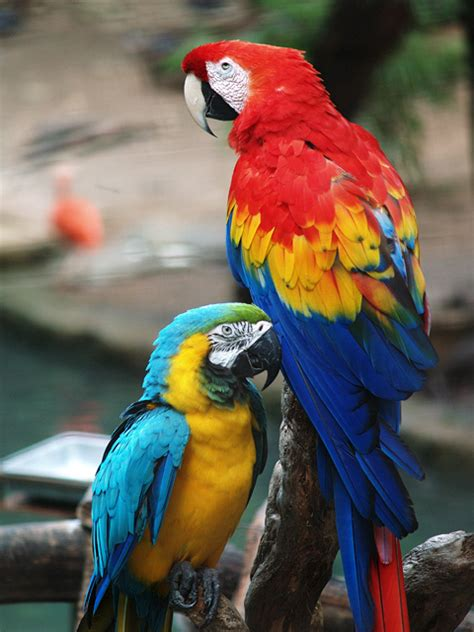 file scarlet macaw and blue and gold macaw jpg wikimedia