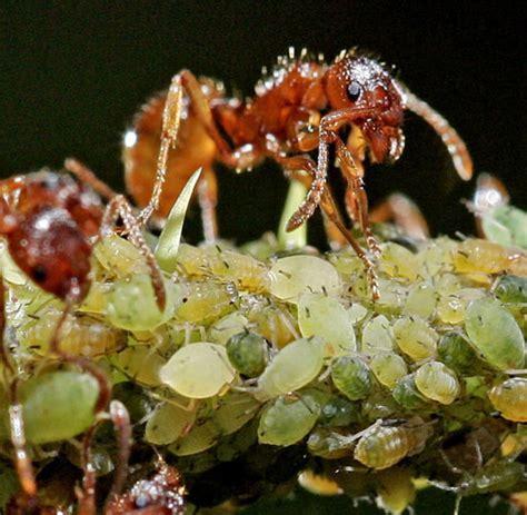 Ameisen Im Blumenk Bel 4745 by Gro 223 Z 252 Gig Ameisen Im Pflanzk 252 Bel Zeitgen 246 Ssisch Die