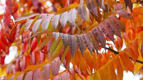 sumac essentials  fall foliage