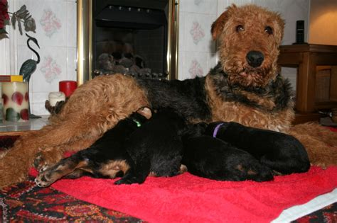airedale puppies for sale airedale terrier puppies for sale forres morayshire pets4homes