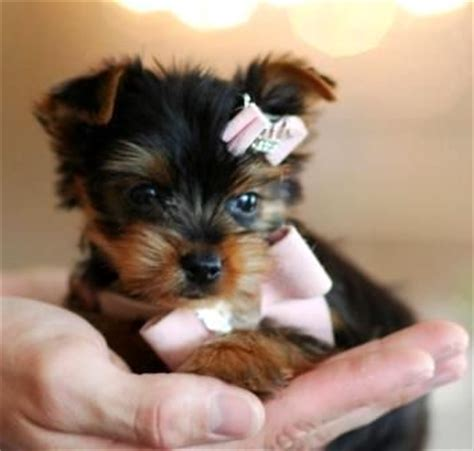 puppy for sale websites georgina the yorkie teacup puppy for sale website seems sketchy but the puppies are
