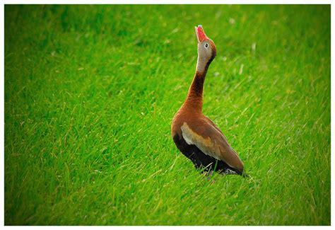 singing duck birds of florida photo juan estevez