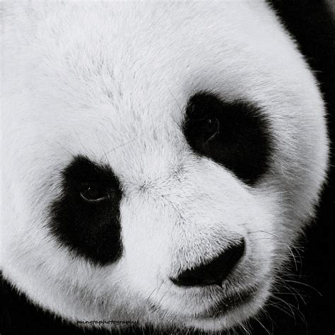 three black and white the panda 3 black and white window to the soul of a lovely