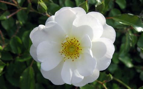 imagenes flores jasmin lindas fotos de flores lindas fotos de flores lindas imagens