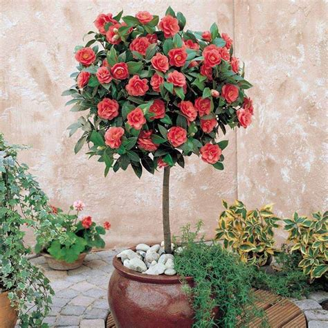 camelie in vaso camelia rossa piante da giardino come curare la
