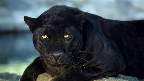 black panther animal desktop wallpaper black panther desktop wallpaper categories 1368x768