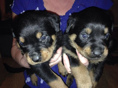 rottweiler puppies for sale manchester rottweiler puppies for sale stockport greater manchester pets4homes