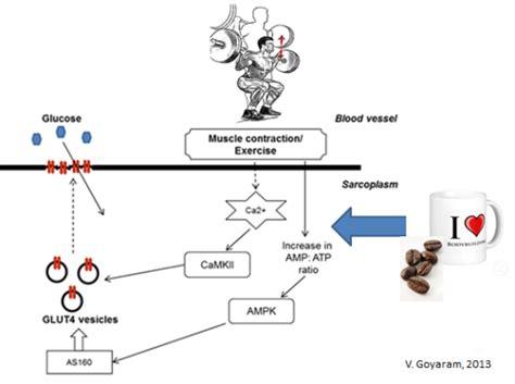 New Glucogen Glucogen 2 new glycogen resynthesis glycogen