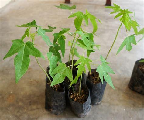 Bibit Pepaya cara menanam budidaya pepaya bangkok atau thailand