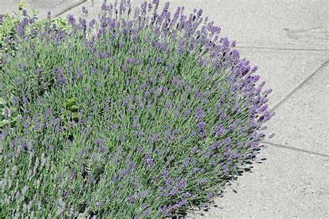 munstead lavender lavandula angustifolia munstead in