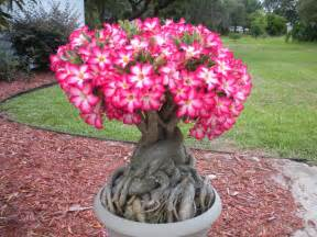 desert rose plant care casa fab