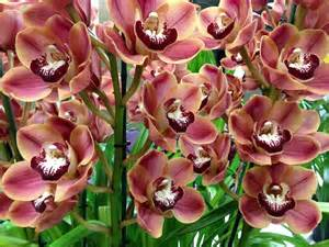 cymbidium orchid cymbidium orchids how to grow different types of cymbidium