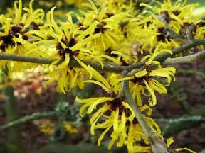 chinese witch hazel hamamelis mollis garden helper gardening questions and answers