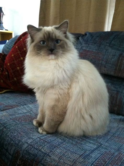 ragdoll 1 year 56 best images about ragdoll cats on cats is