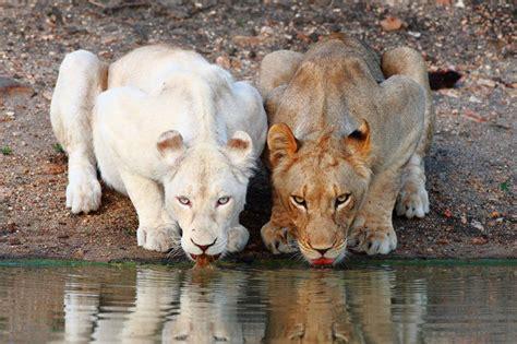 imagenes de leones albinos leones blancos ciencia y educaci 243 n taringa