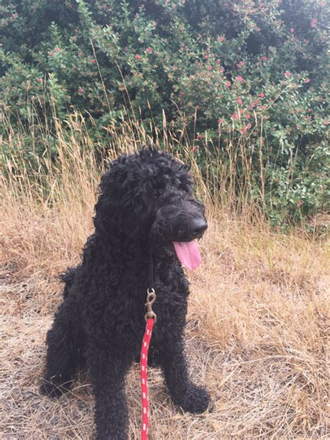 goldendoodle puppies for sale in oregon goldendoodle puppies portland oregon and goldendoodle