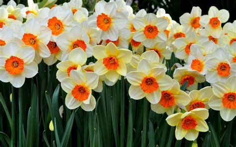flower k wallpaper daffodils flower wallpaper wallpapers9