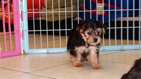 yorkie poo for sale in atlanta ga adorable yorkie poo puppies for sale in atlanta ga at atlanta columbus