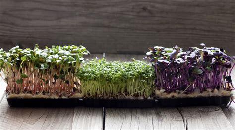 come cucinare i semi di soia i germogli in cucina