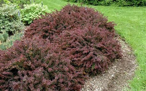 shrubs barberry royal burgundy images frompo