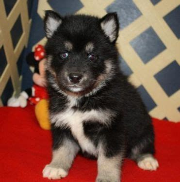 pomsky puppies for sale in florida 25 best ideas about pomsky for sale on pomsky for sale baby huskies