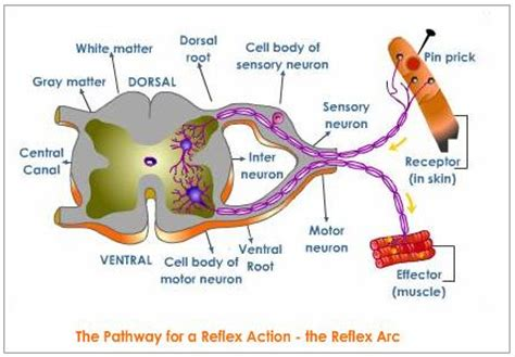 diagram of the reflex arc y10 biology sg unit 1 coordination and response