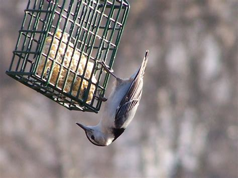 top 28 how to attract nuthatches nuthatch nuthatch