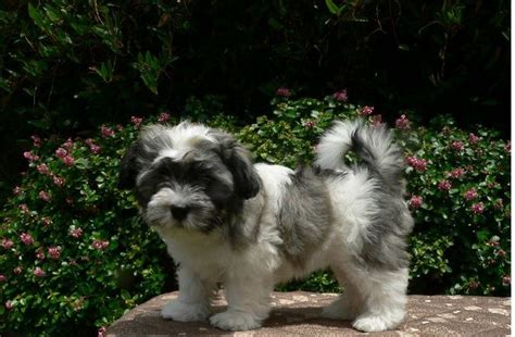 havanese puppy cost havanese puppy on a table in the garden jpg