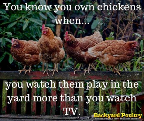 Backyard Chickens Jokes 25 Best Chicken Quotes On Chicken Signs