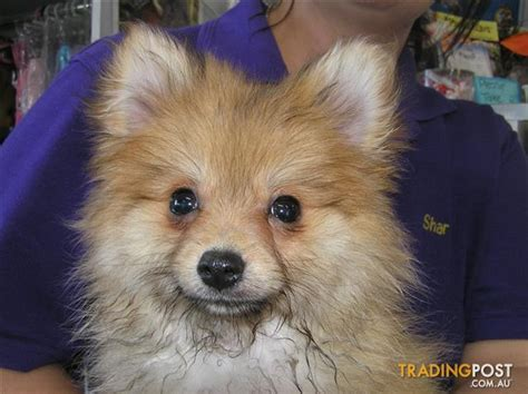 where do pomeranian dogs come from pomeranian puppies at puppy shack brisbane for sale in brisbane qld pomeranian