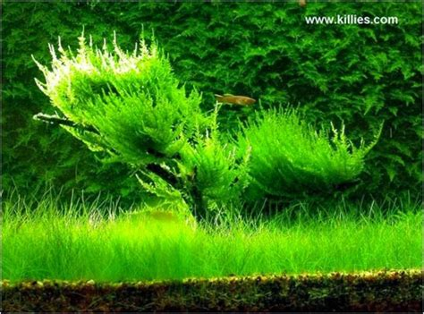 Tanaman Aquascape Jenis Moss gna get nature aquascape tanaman aquascape