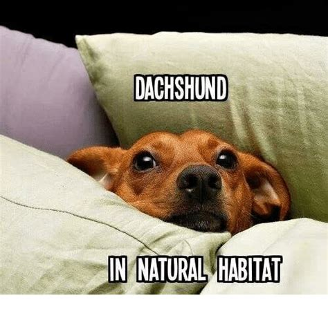 Funny Dachshund Memes - dachshund in natural habitat meme on me me