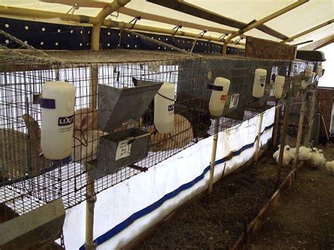 Harga Makanan Kelinci Anggora pedoman membeli kelinci perhatikan harga dan kualitasnya