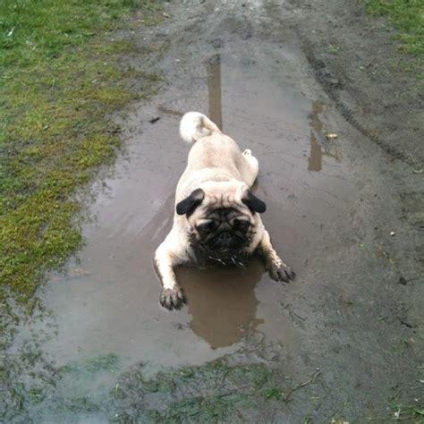 mud pug pug in the mud aww