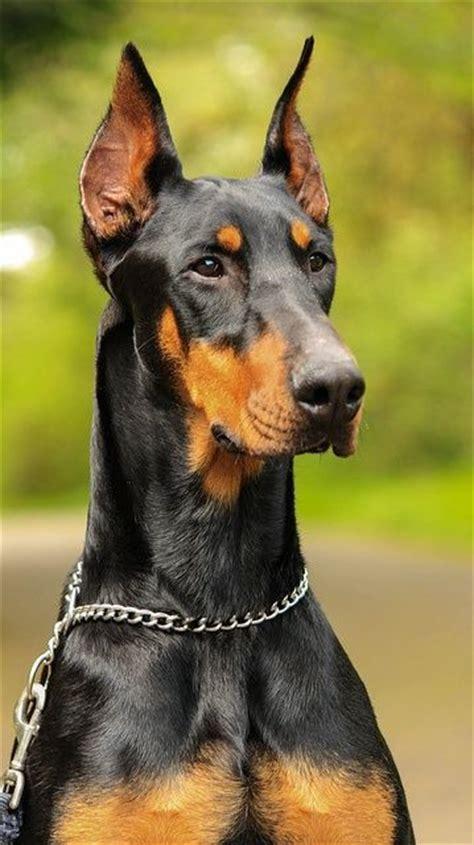 top 5 smartest dogs 273 best dobermann the magnificent images on