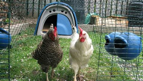petition for backyard chickens