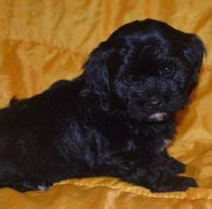 havanese puppies for sale kijiji pics of kittens and pups on 36 pins
