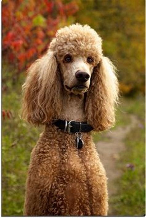 poodle with plain hair cut 1000 images about poodles on pinterest standard poodles