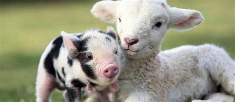 fun  adopting  teacup pig