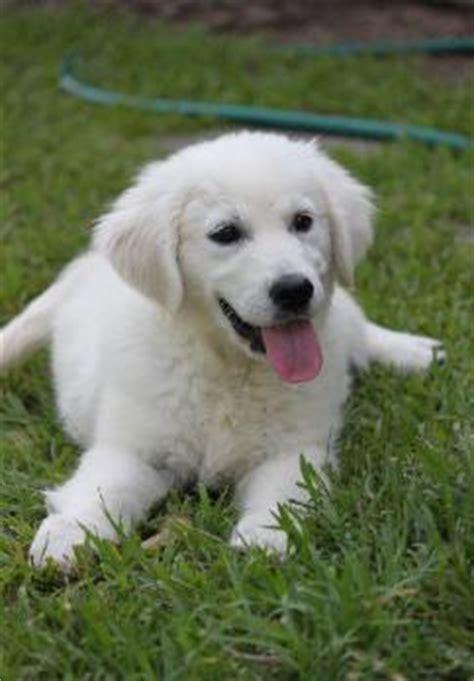 golden retriever mississippi home mcgreger s white golden retrievers puppies mississippi