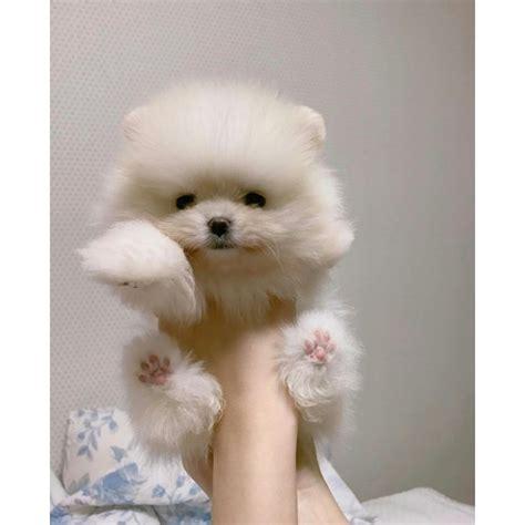 boo teddy pomeranian pomeranian
