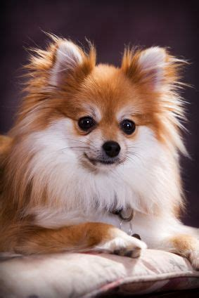 how big do teacup pomeranians get 1000 ideas about white pomeranian on pomeranians teacup pomeranian and