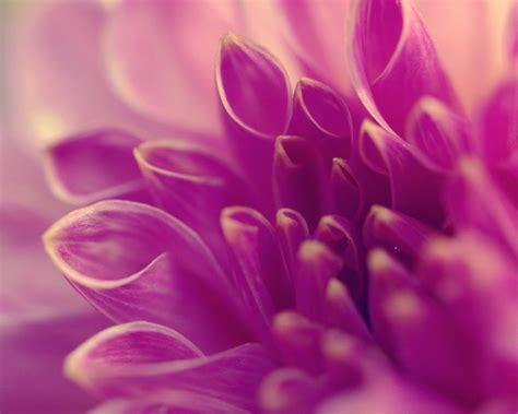 pink petals flower macro wallpaper 1024x768 resolution pink flower macro petals close up 2560x1600 wallpapers13 com
