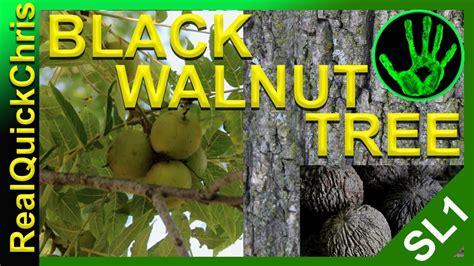identifying  black walnut tree  eating  nuts youtube