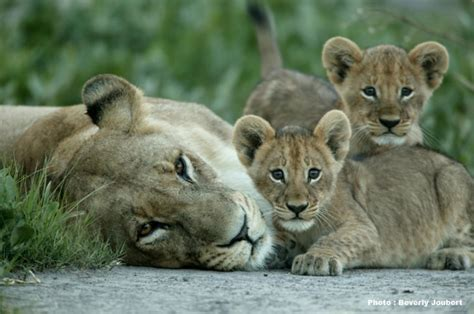 lioness and cubs botswana children s eyes on earth