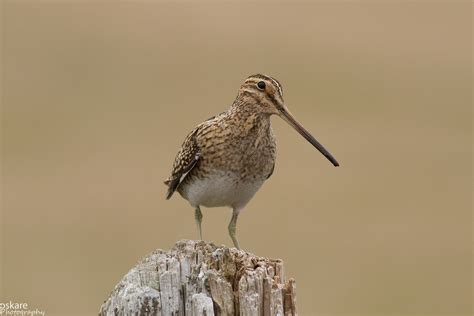 what is snipe in woodworking common snipe song call voice sound