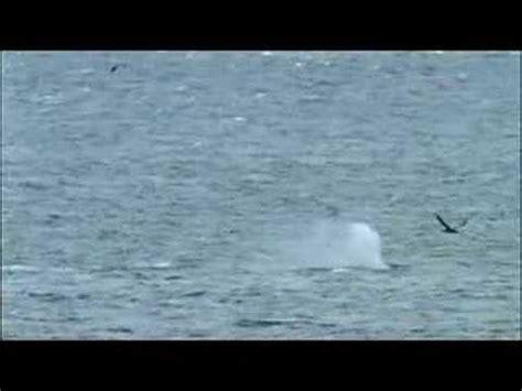 killer whales with sea pup killer whales with sea pup